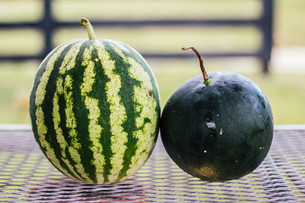Harvesting Watermelons & Trying a New Cucumber Variety