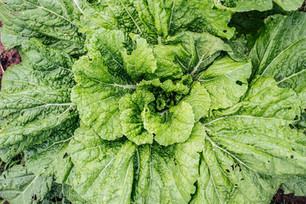 Transplanting Cool Season Crops & Seeding Radishes