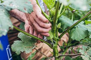 Harvesting Okra & Curing Butternut Squash