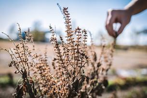 Harvesting Tulsi Basil Seeds