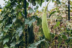 Monitoring Luffa Growth & the End of Tomato Season
