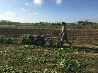 The last bed of lettuce being chopped into mulch by our walk-behind tractor.