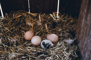 Egg Production & Monitoring Rain Damage