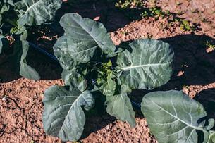 Transplanting Broccoli & Herb Box Maintenance