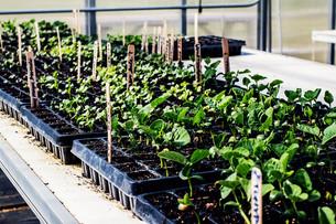 Saffron Crocuses Planted & Seeds Germinating