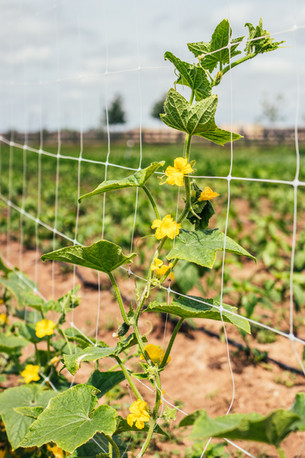 Cucumbers Growing and Peppers Flowering