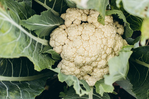 The First Cauliflower of the Season