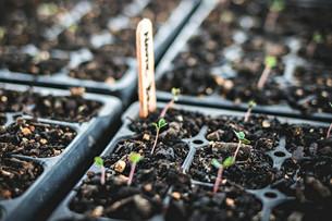 Seeding Cool Weather Crops & Harvesting Okra