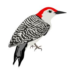 red bellied woodpecker-04.png
