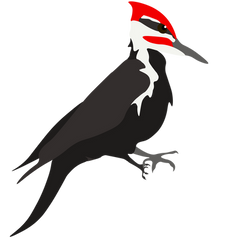 pileated woodpecker-05.png