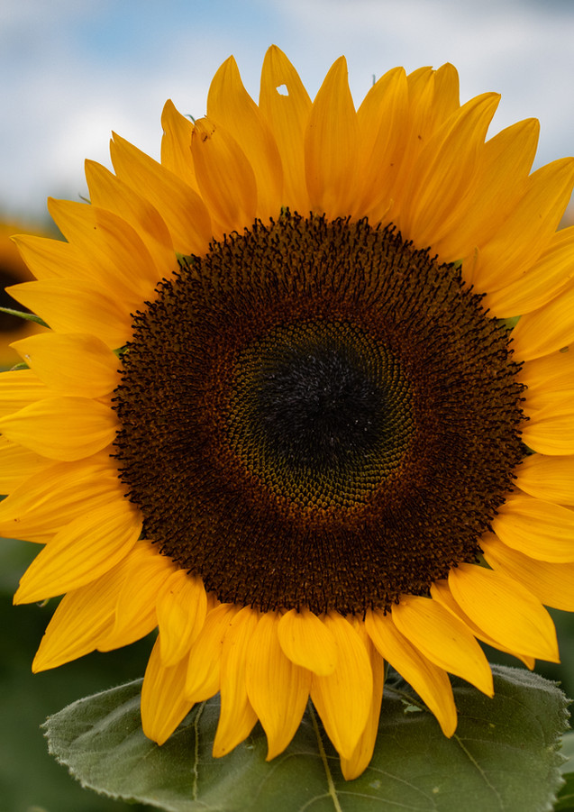 sunflowerswithabby-08.jpg
