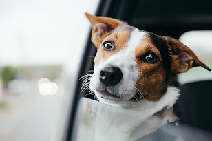 jack russell terrier, window, car, gazing