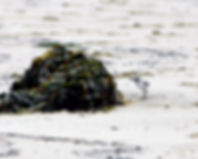 Snowy Plover Chick and seaweed Alexis.JP