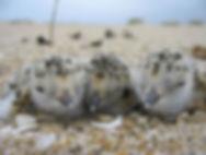 Three Snowy Plover Chicks Resting.JPG