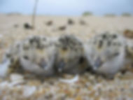 Three Snowy Plover Chicks Resting.JPG
