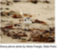 Snowy Plover Chick with eggs.JPG