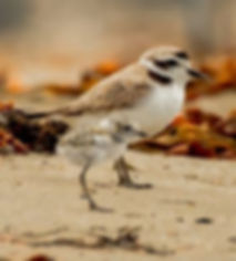 Plover Dad and chick.jpg