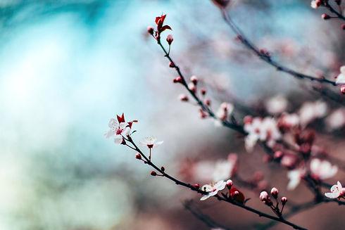 Cherry Blossoms_edited_edited.jpg