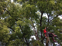 Moving into a walnut canopy. Pre-knee ascender.