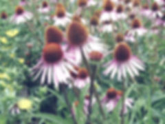 Echinacea X Spp_edited.jpg