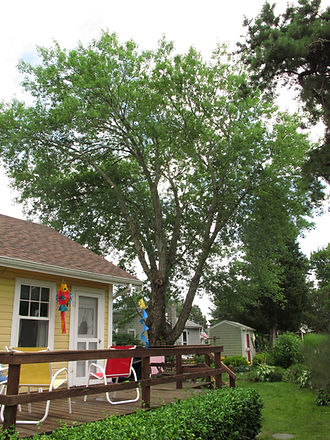 Tree crown thinning