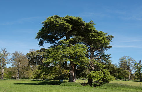 Cedar tree.jpg