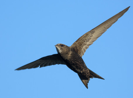 Giving Swifts a Home Using Sound