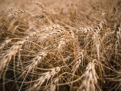 harvest2017-3.jpg