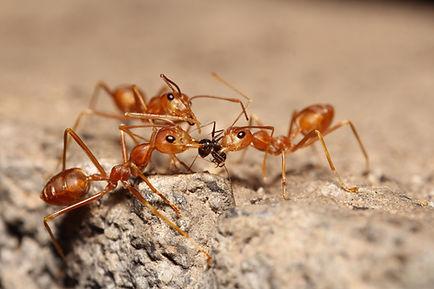 treatment of fire ants in edmond ok