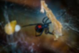 venomous spider solutions