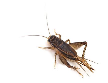 crickets solution in edmond ok