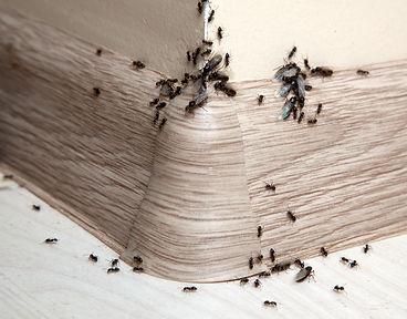 ants treatment