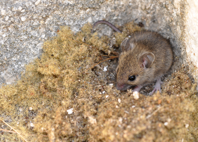 Have Mice Moved In?