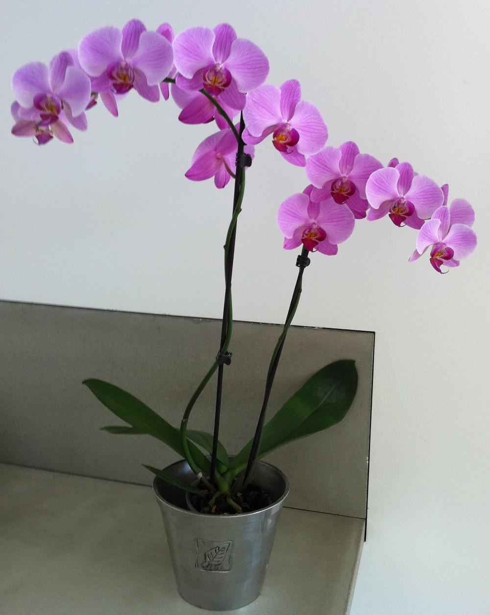 orchid house plant flowering plant