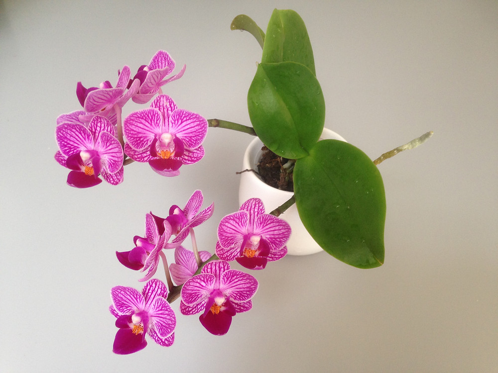 Orchid house plant