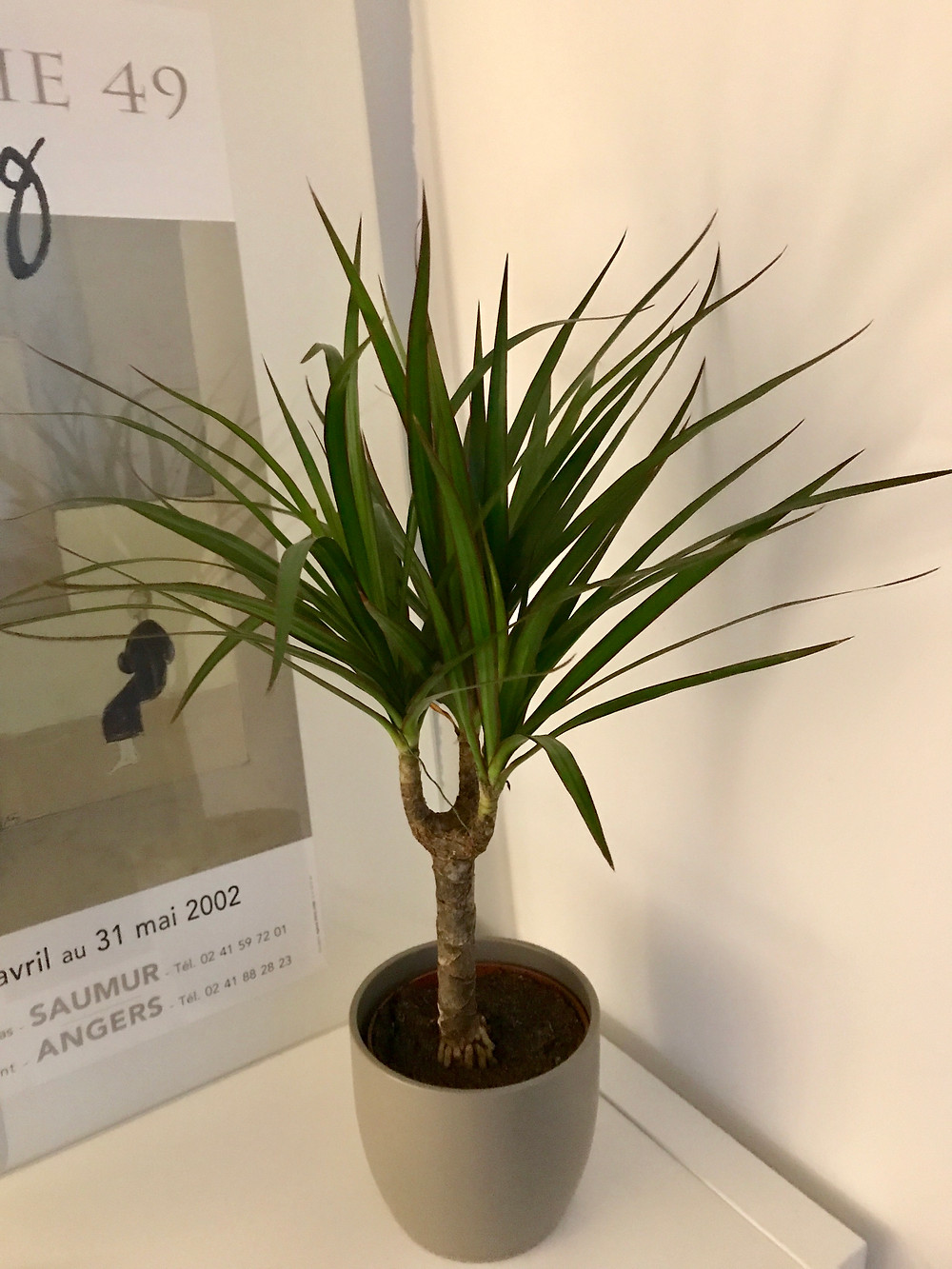 Yucca house plant