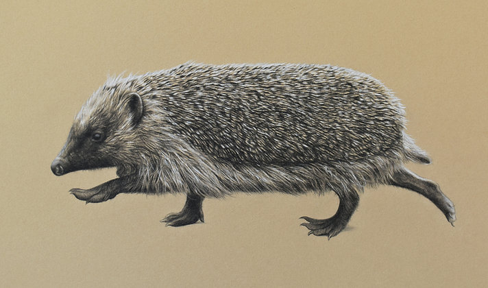 'Ambling Hedgehog' Original Pencil Drawing