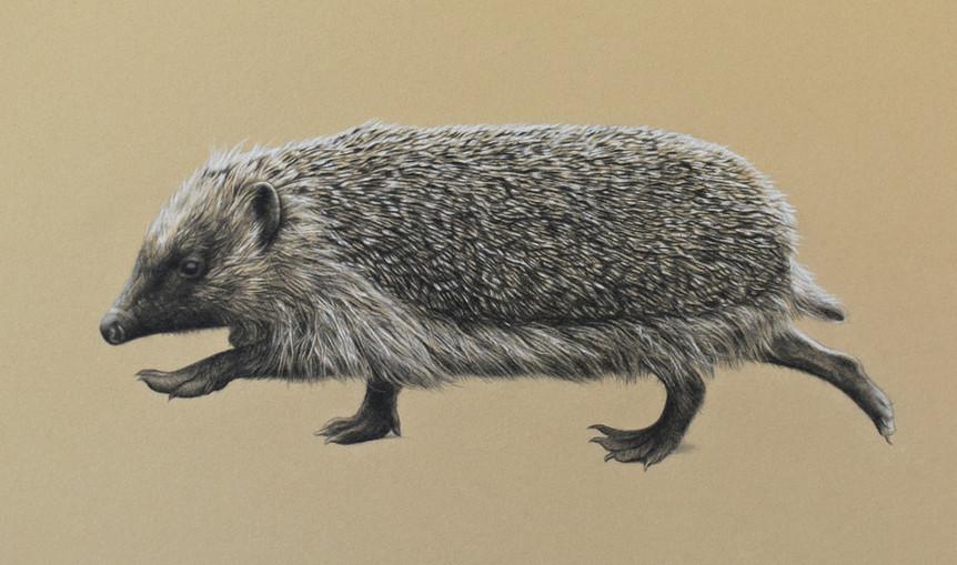 Ambling Hedgehog