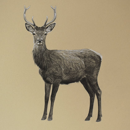 'Young Buck' Original Pencil Drawing