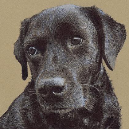 'Black Labrador' Print
