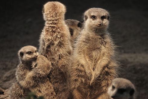 meerkat-3828228.jpg