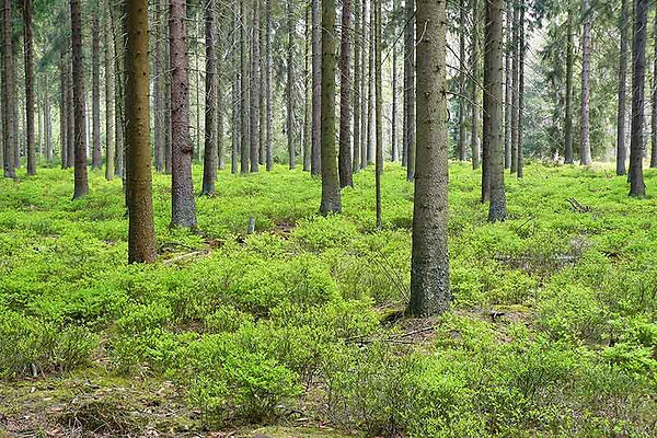 European Timber Forest for Wood Flooring