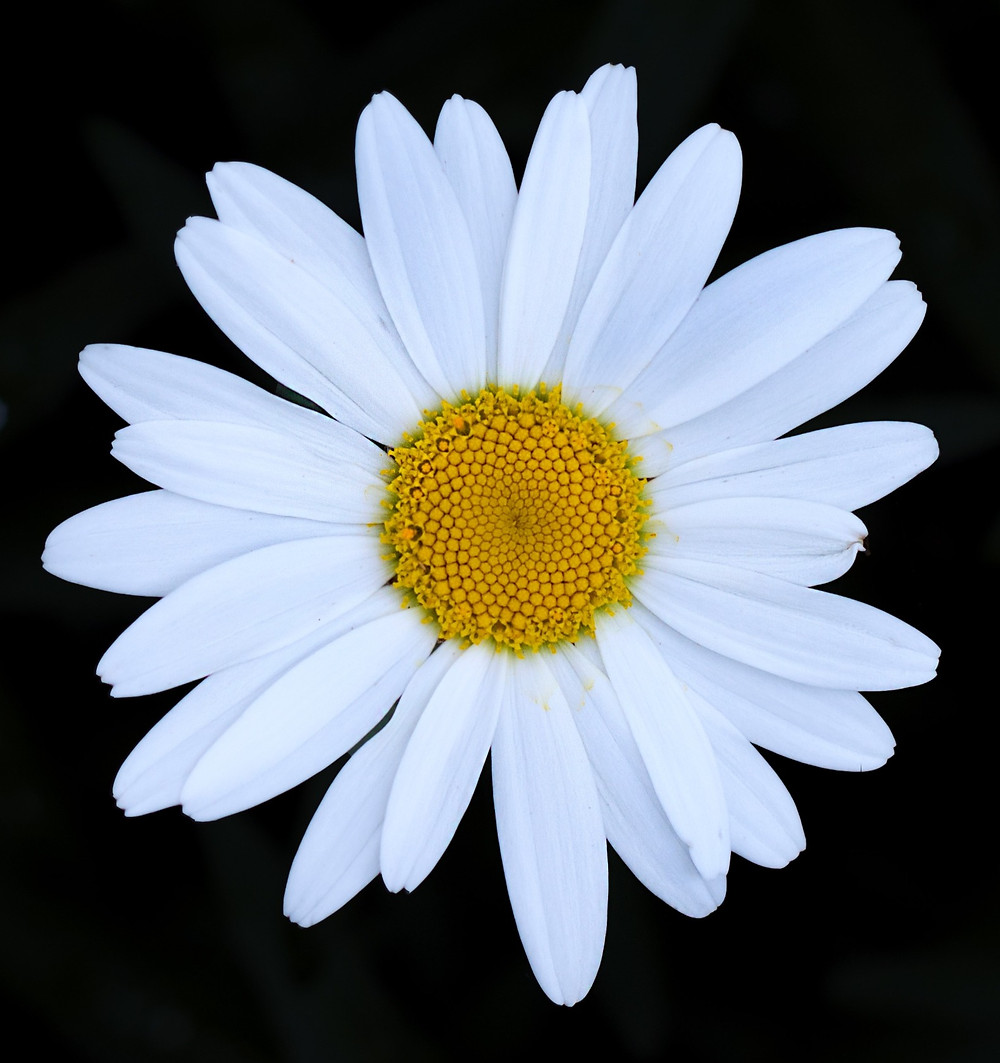 a fresh, beautiful daisy