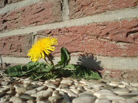 Dandelions, the Flowers we Love to Hate