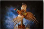 pheasantjeremylarge_000.jpg