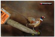 pheasantjasonlarge.jpg