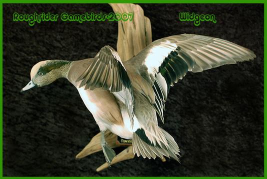 widgeonricklarge.jpg