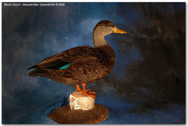 Black Duck, Black Duck Mounts, Bird Taxidermy, Waterfowl Taxidermy, Roughrider Gamebirds