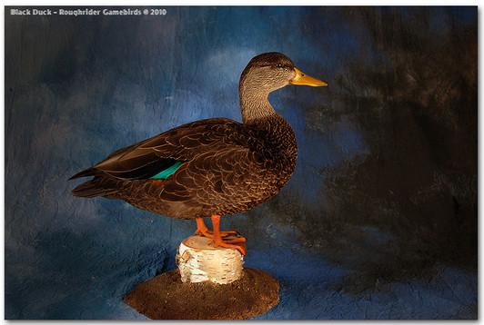 Black Duck, Black Duck Mounts, Bird Taxidermy, Waterfowl Taxidermy, Roughrider Gamebirds