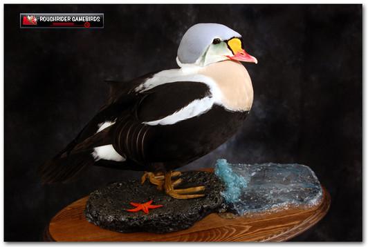King Eider, King Eider Mounts, Bird Taxidermy, Waterfowl Taxidermy, Roughrider Gamebirds